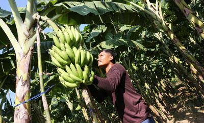 """""""เซเว่น อีเลฟเว่น"""" ส่งเสริม SMEs ไทย หนุนสหกรณ์ฯ ท่ายาง ปลูกกล้วยหอมทอง สร้างรายได้เกษตรกร"""